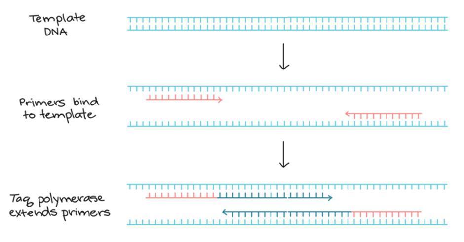 alur prinsip kerja PCR untuk uji DNA