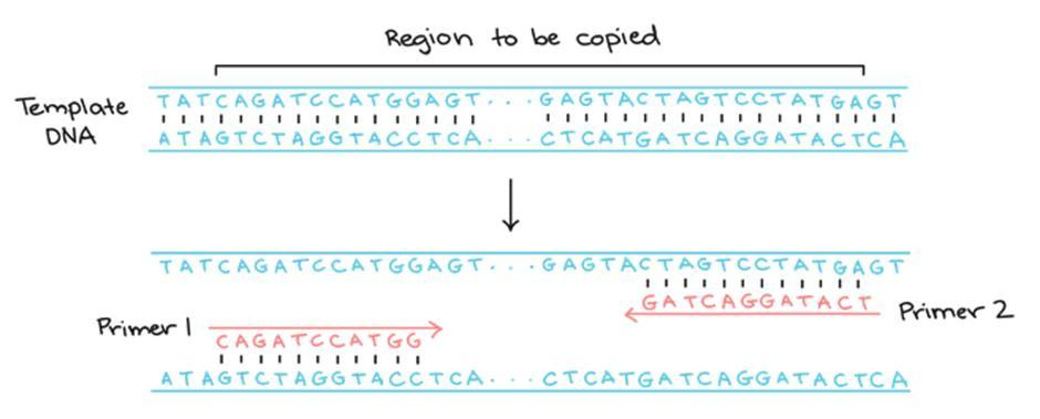 template dna
