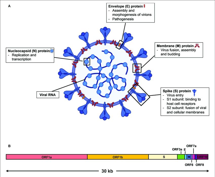Sturktur Virus SARS-CoV-2 (Lee et al., 2020)